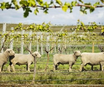 Sheep tend to the vineyards at Yealands Estate (Photo: Yealands)