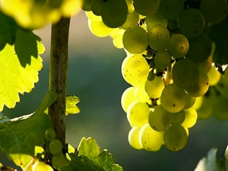 wines-riesling-germany