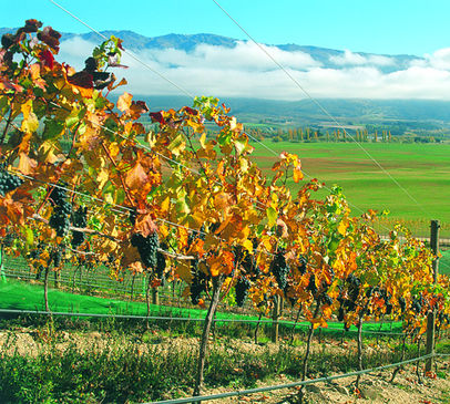 Grapes ripen in Central Otago