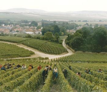 Heatwave shrinks Champagne harvest by almost 20%