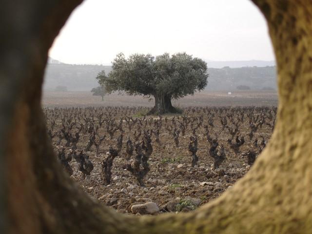 Contino's Olivo vineyard in Rioja Alavesa