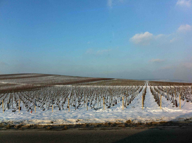 Snow covered vines in Champagne