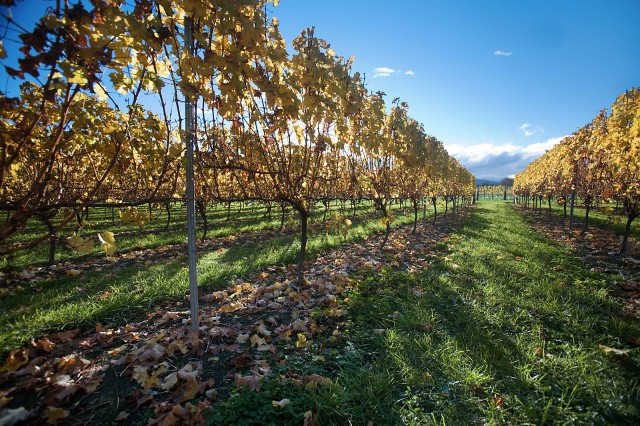 Wine glut feared in NZ after baking summer