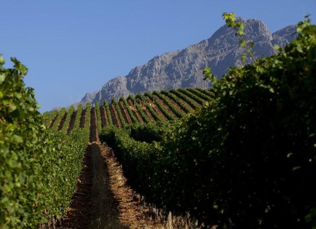 Vines at Oldenburg in Stellenbosch overlooking Table Mountain
