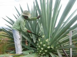 Cutting the agave