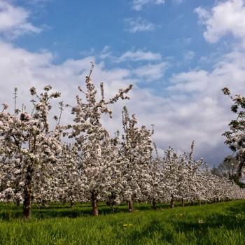 Cider apple blossom