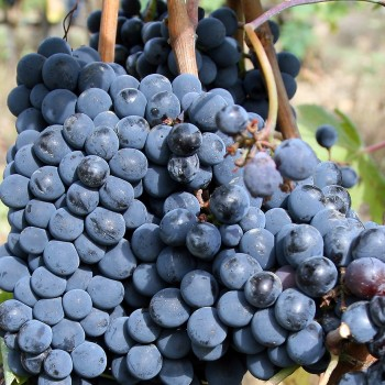 Sangiovese_grapes_for_chianti