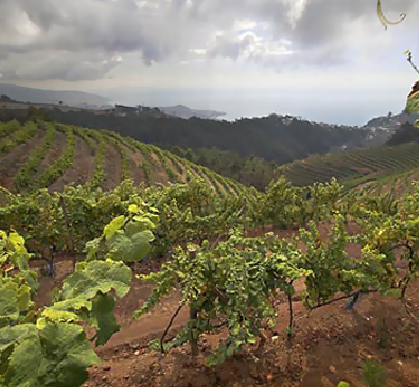 Henriques & Henriques vineyards in Madeira