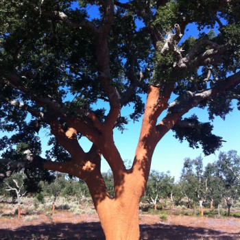 Where it all starts: a recently harvested cork oak in Portugal's Alentejo region