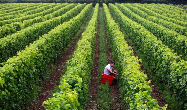 Rich pickings: 2013 is set to be Camel Valley's largest harvest yet. Credit: SWNS