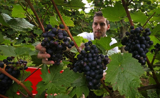 Sam Lindo gets down and dirty with his Reichensteiner grapes