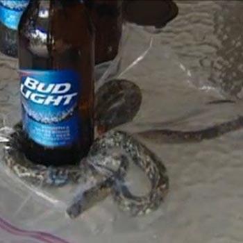 Snake in Bud Light