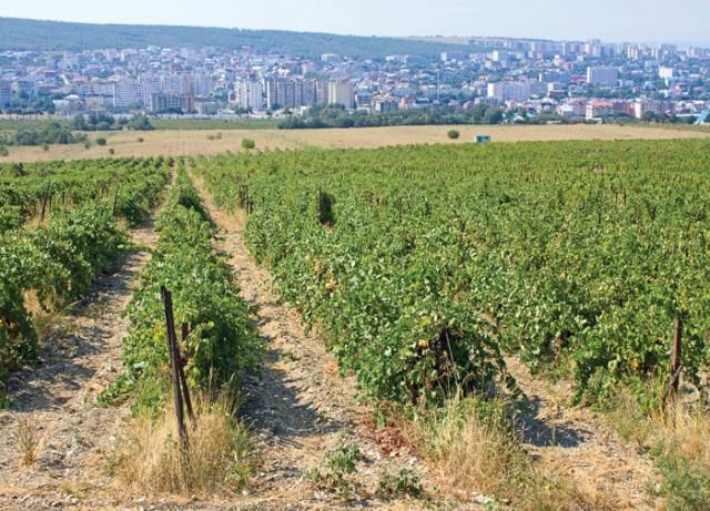 Russian-Vines