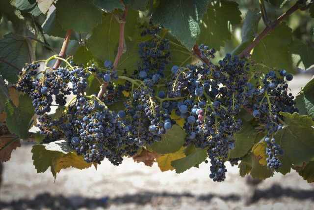 The Querol variety rediscovered by Torres