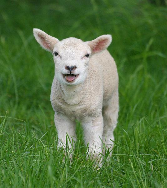 533px-Sheep,_Stodmarsh_6