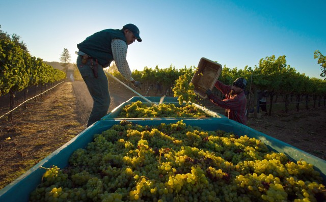 Harvesting in Sonoma. Photo credit: Stark Insider