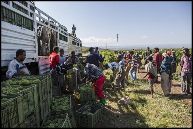 9-Ethiopia-harvest-cession-at-Awash-wines1-1024x687