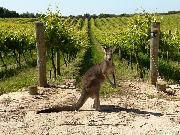Kangaroo vineyard