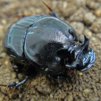 The European dung beetles are being introduced to tackle the bush fly swarms.