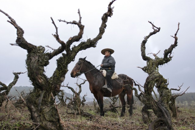 Old vines in Maule