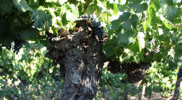 80-year-old Malbec Vine