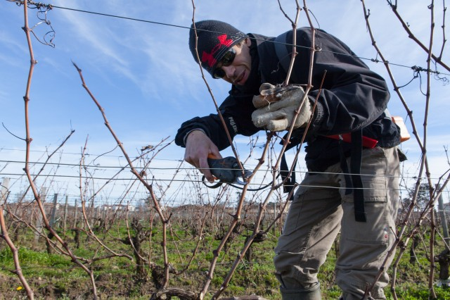 VIncent Pruning Vines Chateau Guadet 2014 (1 of 1)