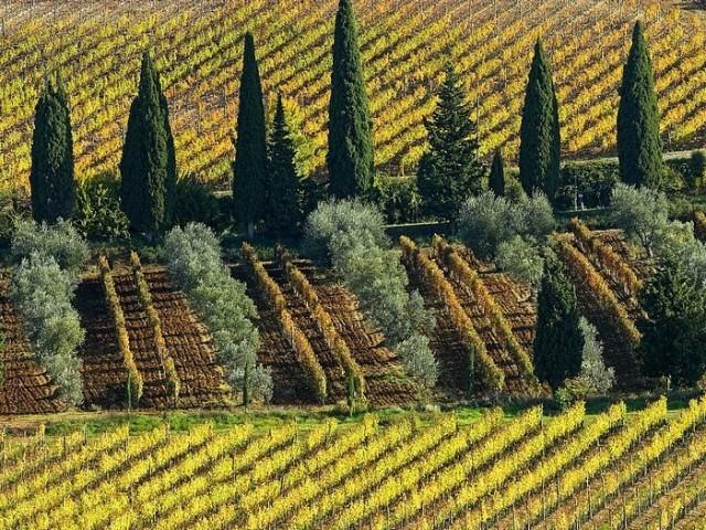 Vineyard-Near-Montalcino-in-Tuscany-640x480