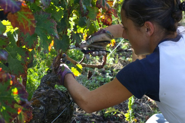 Picking the grapes at Château Teyssier - 2014