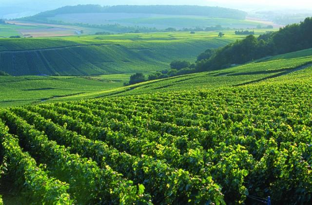 Bollinger vineyards