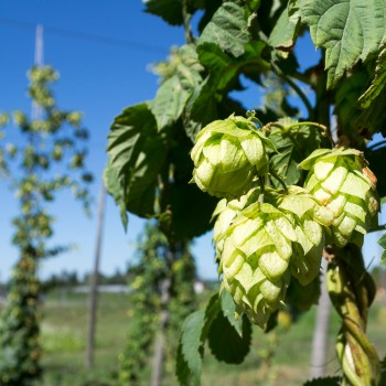 Aroma hops, which are most associated with craft beers, are experiencing serious price increases as supply tightens (Photo: Wiki)