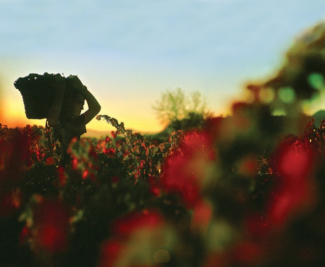 Dawn-harvest-in-Rioja-Alavesa