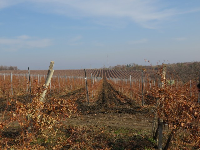 Vineyards in Cimislea and famous Cherny Zom