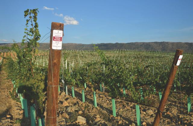 Experimental vineyard Touriga Nacional
