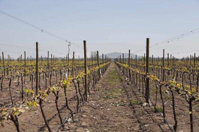 Maipo-Valley_Pirque-vineyard_Spring_Cabernet-Sauvignon-Budbreak-foto-1