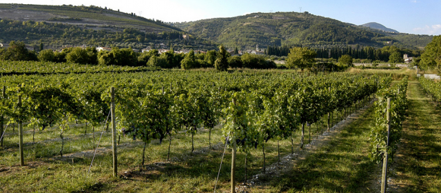 Masi Guyot trained vines