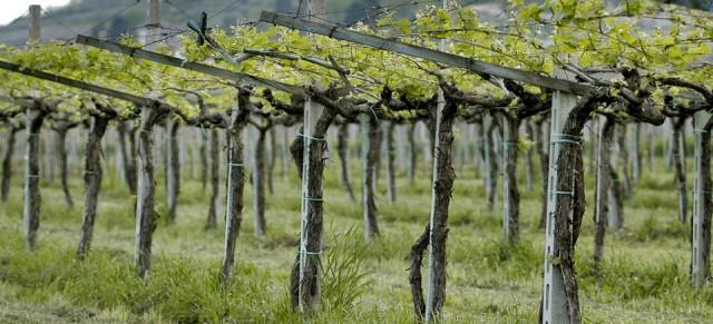 Masi pergola trained vines
