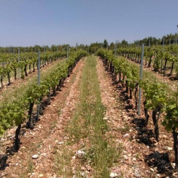 The red clay vineyards of Domaine de Bargylus