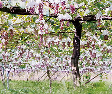 Japan's Koshu vineyards