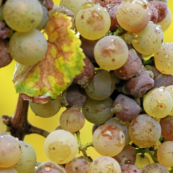 Botrytis-affected Riesling grapes (Photo: Wiki)