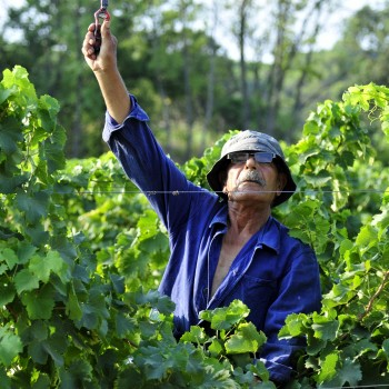 The 2015 harvest in Provence is expected to yield 160 million bottles' worth of grapes (Photo: Westbury)