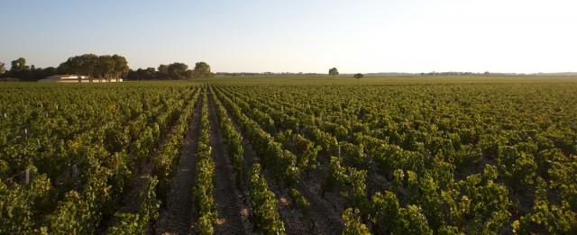 Mouton vineyards