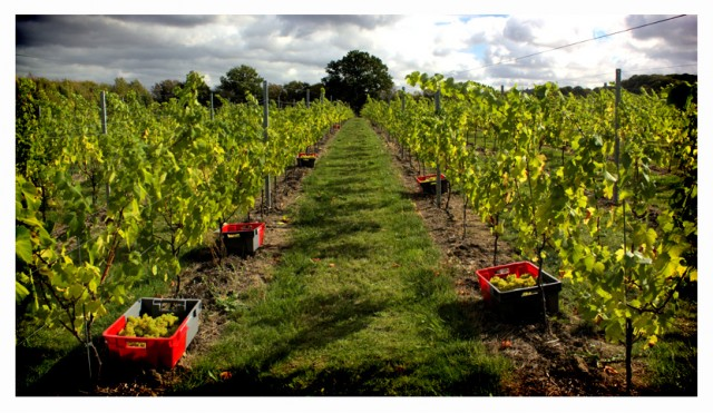Hush Heath vineyard