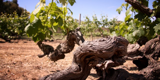 Some vines at Turkey Flat winery in the Barossa Valley date back to the mid-1800s (Photo: Turkey Flat)