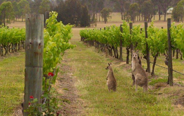 Kangaroos (1)
