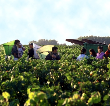 Lafite-harvest-season-High-copy