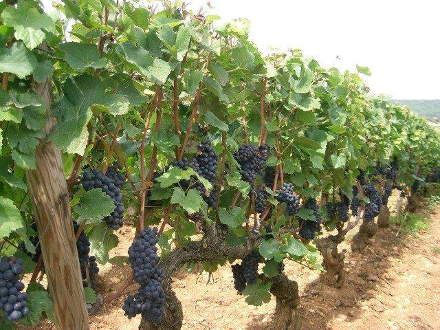 A German vineyard growing Pinot Noir, or Spätburgunder, grapes (Photo: Wiki)