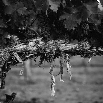 Abreu Madrona Ranch Cabernet Vine [Photo: Abreu Vineyards)
