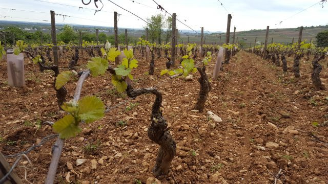 Vines near Beaune this weekend showing the extent of