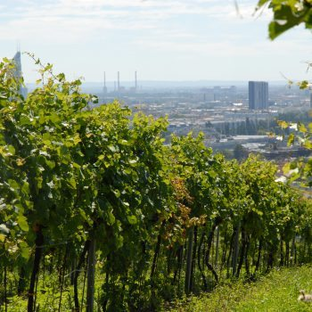 Fritz Wieninger's Nussberg vineyard in Vienna – the only city in the world to have a wine designation of origin within its boundaries (Photo: Respekt-Biodyn)