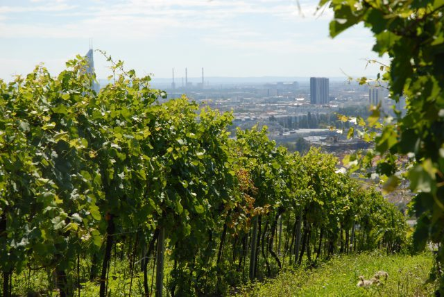 Fritz Wieninger's Nussberg vineyard in Vienna – the only city in the world to have a wine designation of origin within its boundaries (Photo: Respekt-Biodyn)
